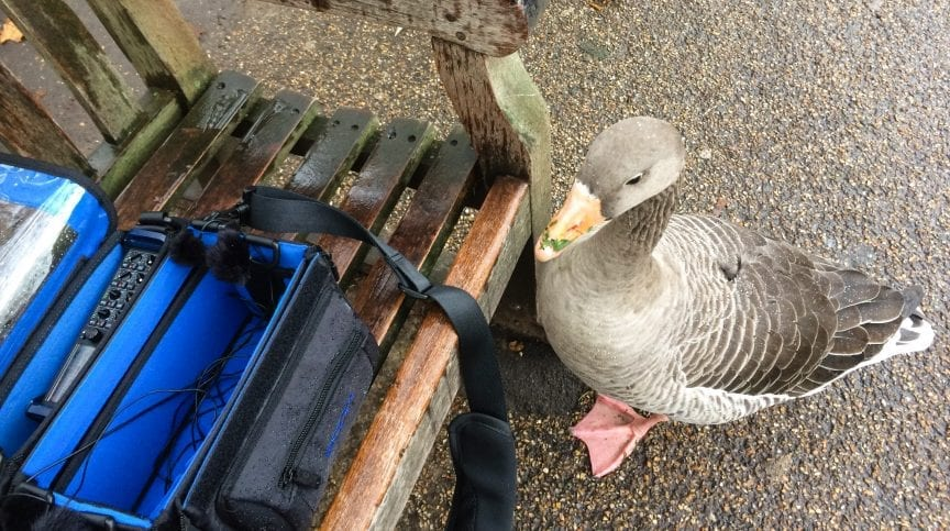 Greylag Goose next to the field recording rig